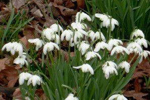 irwell_vale_photography_club_snowdrops