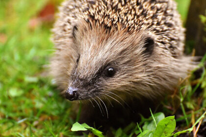 Help our hedgehogs for Hedgehog Awareness Week 2018